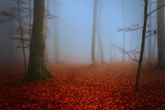 Fogy forest. Sun beams in fogy and forest autumn stock photos