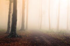 Fogy forest. Sun beams in fogy and forest autumn royalty free stock photos
