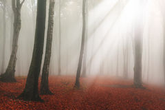Fogy forest. Sun beams in fogy and forest autumn stock images