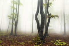 Fogy forest. Sun beams in fogy and forest autumn royalty free stock images