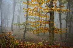 Fogy forest. Yellow tree in the fogy forest autumn Stock Images
