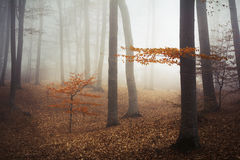 Fogy forest. Yellow tree in the fogy forest autumn Royalty Free Stock Photos