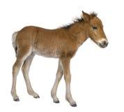 Fohlen (4 Wochen alt) Stockfotografie
