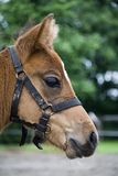Fohlen. A young horse looking in the camera Stock Photos
