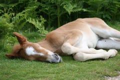 Fohlen, das auf Gras schläft lizenzfreie stockfotos