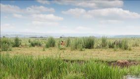 Fohlen, die auf Feld laufen