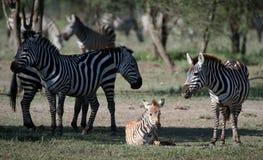 Fohlen eines Zebra mit Mama. Stockfotografie