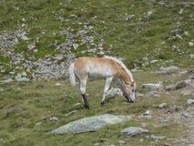 Fohlen haflinger in den Bergen von Italien stockfotografie