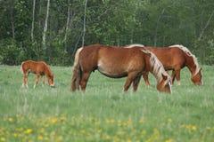 Fohlen mit Familie Lizenzfreie Stockfotografie