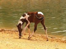 Fohlen nahe Wasser Lizenzfreie Stockbilder