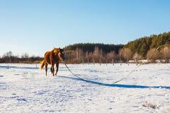 Fohlen Trab eines in den sonnigen Winterfeldes stockfotografie