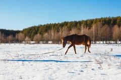 Fohlen Trab eines in den sonnigen Winterfeldes lizenzfreie stockbilder