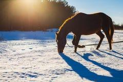 Fohlen Trab eines in den sonnigen Winterfeldes stockfoto