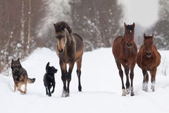 Fohlen und Hunde Lizenzfreies Stockbild