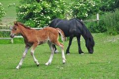 Fohlen und Mutter auf einem Gebiet Lizenzfreie Stockfotos