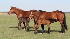 Fohlen und Pferde stock video footage