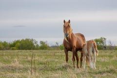 Fohlen und seine Mutter, die in der Weide weiden lassen stockfoto