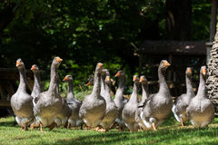 Foie gras geese at the goose farm Stock Images