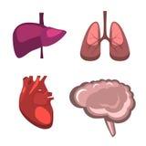 Foie humain d'organes internes, cerveau, poumons, anatomie de médecine de coeur Photos libres de droits