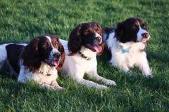Foie très mignon trois et chiens blancs se couchant ensemble Photos stock