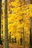 Foilage brilhante da queda do ouro no tr Imagens de Stock