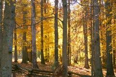 Foilage brilhante da queda do ouro no tr Fotografia de Stock Royalty Free