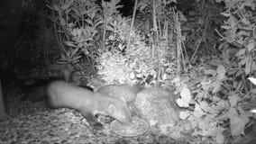 Foina del Martes de la marta de haya que mira hacia fuera para la comida para gatos en un jardín vídeo infrarrojo de la cámara almacen de metraje de vídeo