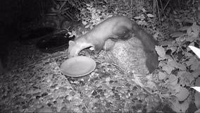 Foina del Martes de la marta de haya que mira hacia fuera para la comida para gatos en un jardín vídeo infrarrojo de la cámara metrajes