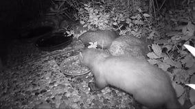 Foina del Martes de la marta de haya que mira hacia fuera para la comida para gatos en un jardín vídeo infrarrojo de la cámara almacen de video