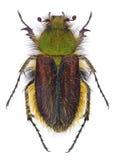 Foina peludo de Pygopleurus del escarabajo del escarabajo Foto de archivo libre de regalías