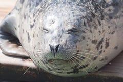 foka śpiąca Fotografia Royalty Free