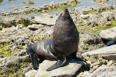 Foka bawić się nad morze skałą zdjęcia stock