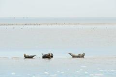 Foka kłaść w holendera Wadden morzu Obrazy Stock