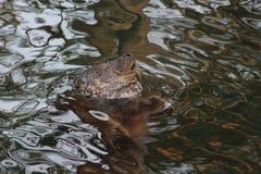 Foka - śmieszna twarz Obraz Royalty Free