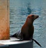 Foka na doku w Alamitos zatoce w Long Beach Kalifornia Obrazy Royalty Free