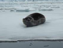 Foka na lodzie Fotografia Royalty Free