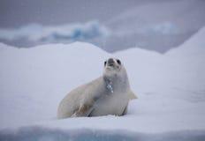 Foka na lodzie w Spada śniegu Zdjęcia Royalty Free