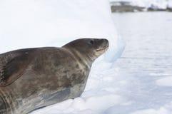 Foka na śniegu. Antarktyczny Obrazy Royalty Free