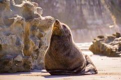 Foka na plaży cieszy się słońce Zdjęcia Stock
