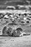 Foka na plaży Obrazy Royalty Free