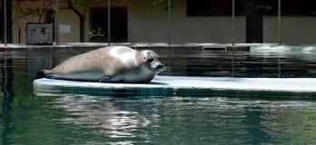 Foka odpoczywa przy zoo basenem Fotografia Royalty Free
