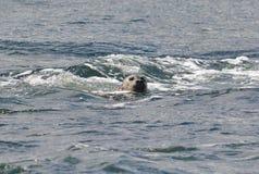 foka pływa na powierzchni obraz royalty free