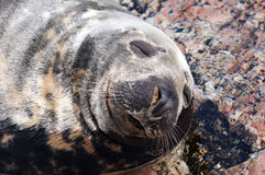 Foka (Pinnipeds, często generalizujący jak foki) Zdjęcie Royalty Free