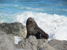 Foka pozuje na skale Fotografia Royalty Free