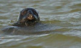 Foka przy Blakeney punktem Norfolk Fotografia Royalty Free
