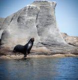 Foka przy Coronado wyspą, Meksyk obrazy royalty free
