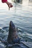 Foka przy rybaka nabrzeżem, Wiktoria, BC Zdjęcie Stock