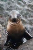 foka przyglądający widz Obrazy Royalty Free
