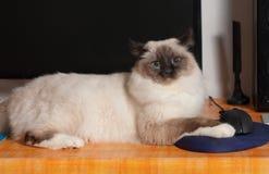 Foka punktu Birman kot, męski obsiadanie na peceta stole Fotografia Stock