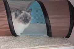 Foka punktu Birman kot, samiec z niebieskich oczu hiddens w ca Fotografia Stock